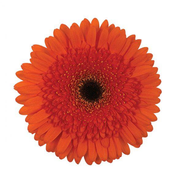 Gerbera Orange Candella (Dark Center)