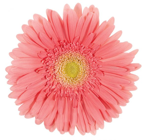 Gerbera Pink Cantaro (Light Center)