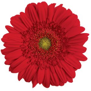 Gerbera Red Carambole (Light Center)