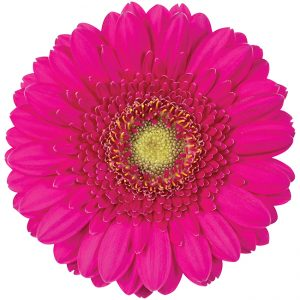 Gerbera Mini Pink-Hot Caressa (Light Center)