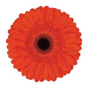 Gerbera Orange Castle (Dark Center)