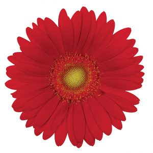 Gerbera Mini Red Choiz (Light Center)