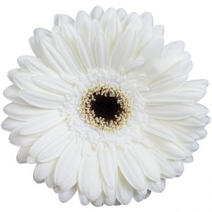 Gerbera White Club Soda (Dark Center)