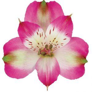 Alstroemeria Bicolor Pink Cupido