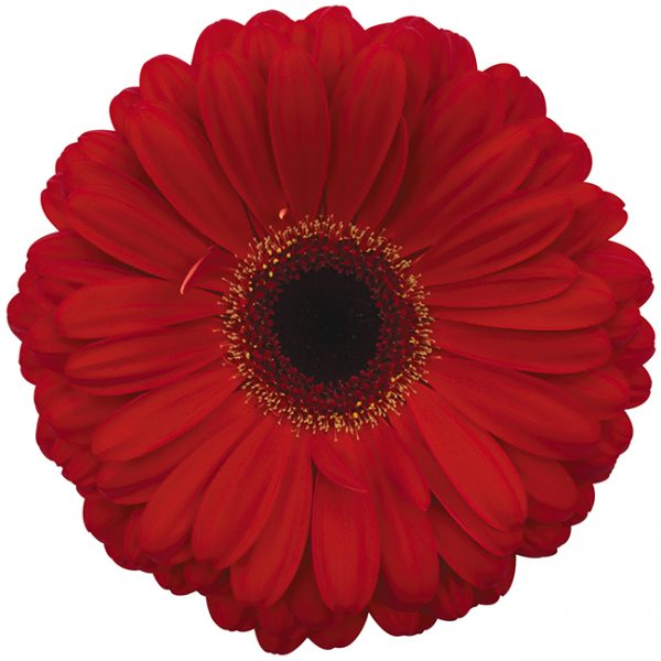Gerbera Red Darling (Dark Center)