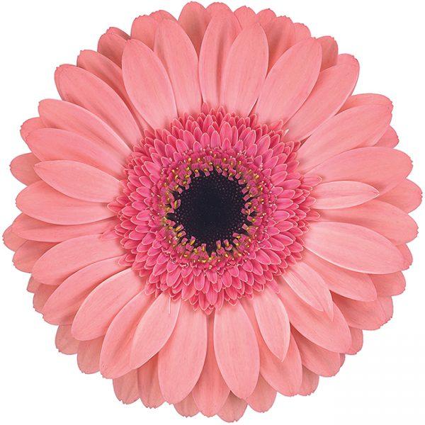 Gerbera Pink-Light Debut (Dark Center)
