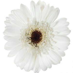 Gerbera Mini White Domino (Dark Center)