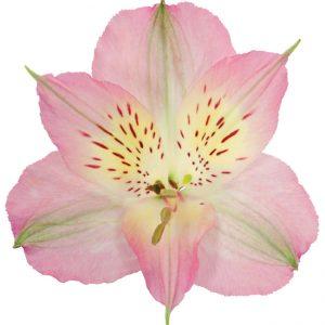 Alstroemeria Pink Dubai