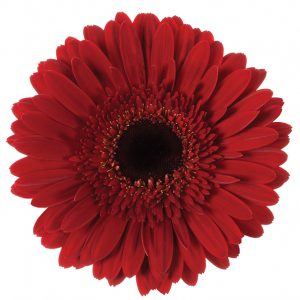 Gerbera Red Dynamic (Dark Center)