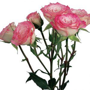 Roses Spray Pink-Bicolor Electra
