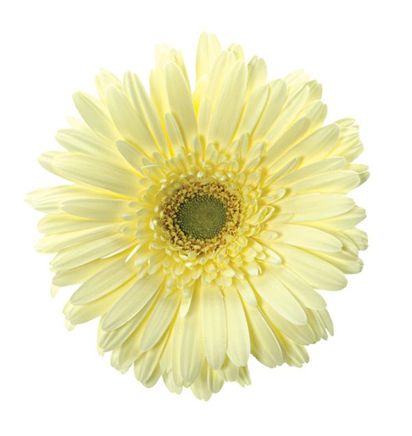 Gerbera Cream Enjoy (Light Center)