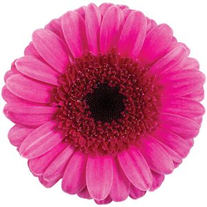 Gerbera Mini Pink-Hot Evra (Dark Center)