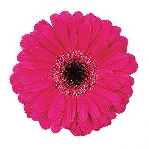 Gerbera Pink-Hot Explorer (Dark Center)