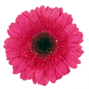 Gerbera Pink-Hot Farao (Dark Center)