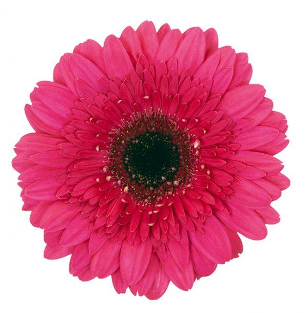 Gerbera Pink-Hot Farao (Dark Center)