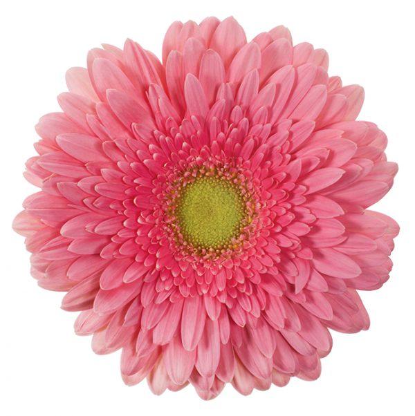 Gerbera Pink Figaro (Light Center)