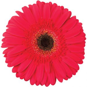 Gerbera Red Five Star (Dark Center)