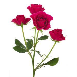 Roses Spray Pink-Hot Gem Star