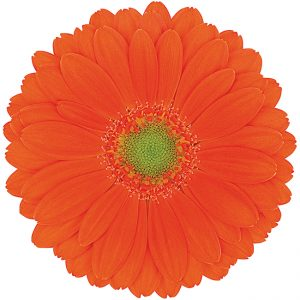 Gerbera Mini Orange Genius (Light Center)
