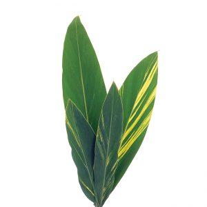 Ginger Leaf Variegated