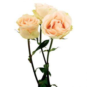 Roses Spray Peach Girlie Folies