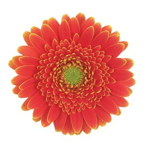 Gerbera Mini Orange Goldy (Light Center)