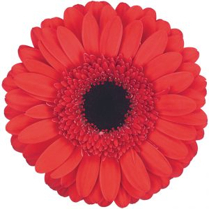 Gerbera Red Hamptons (Dark Center)