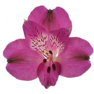 Alstroemeria Pink-Hot Helenna