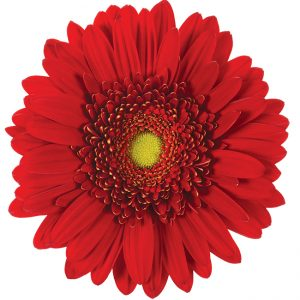 Gerbera Red Highlight (Light Center)