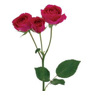 Roses Spray Pink-Hot Hot Majolica