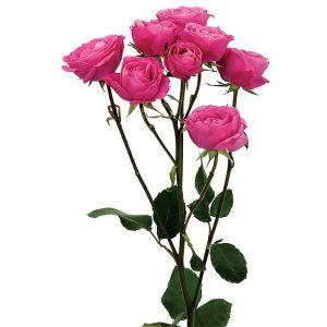 Roses Spray Pink-Hot Hot Pink Folies
