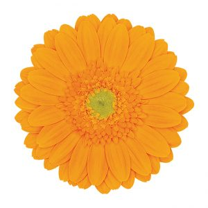 Gerbera Mini Yellow Hot Sundee (Light Center)