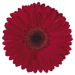 Gerbera Burgundy Humberto (Dark Center)