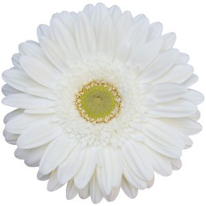 Gerbera White Icy (Light Center)