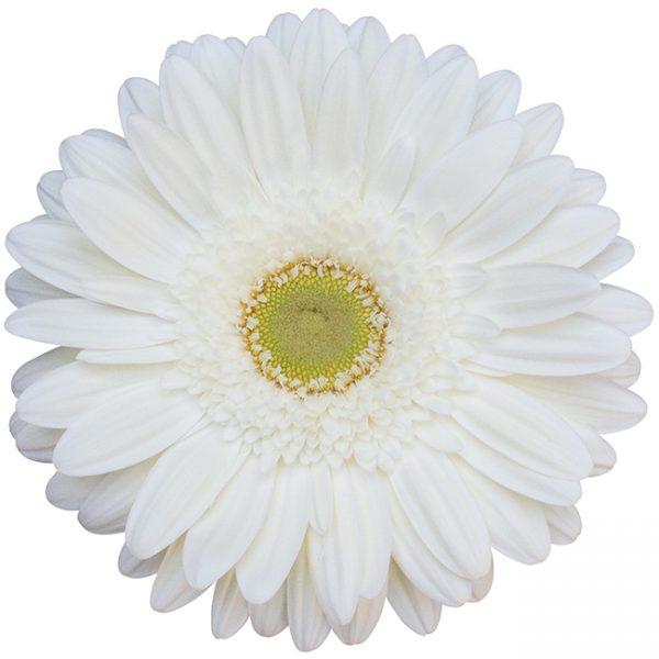 Gerbera White Icy (Light Center)