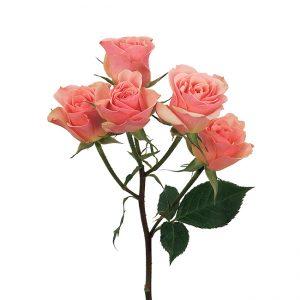 Roses Spray Peach Ilse