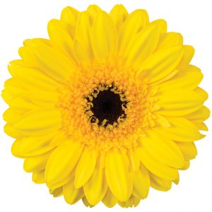 Gerbera Mini Yellow Jackpot (Dark Center)