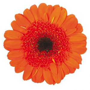 Gerbera Mini Orange Jordy (Dark Center)