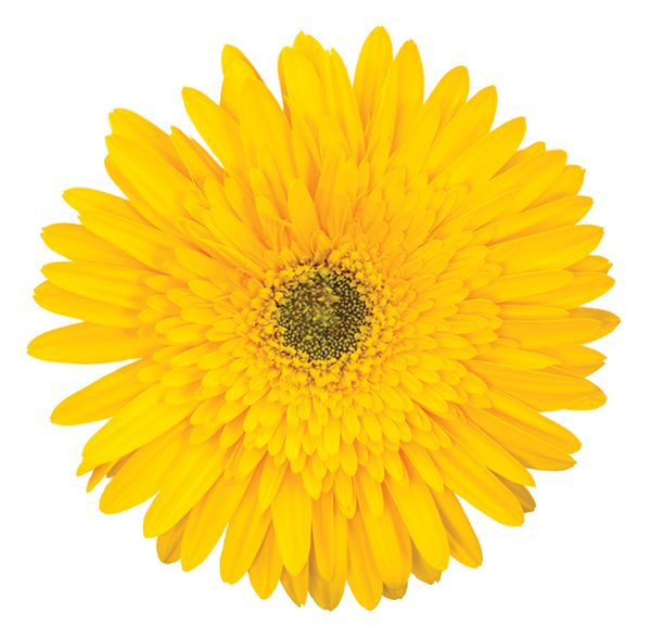 Gerbera Yellow Kayak (Dark Center)