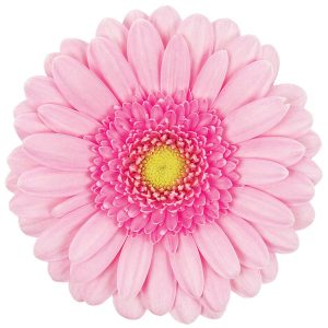 Gerbera Mini Pink Kimsey (Light Center)