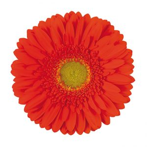 Gerbera Orange Kingsley (Light Center)