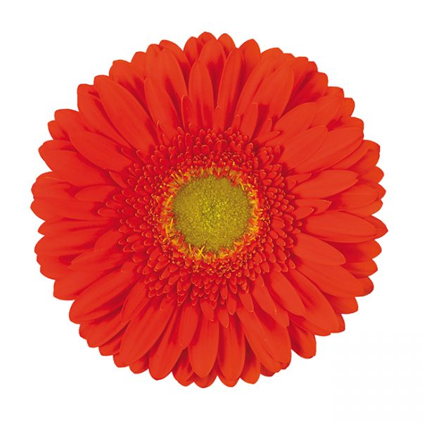Gerbera Orange Kingsley (Light Center)