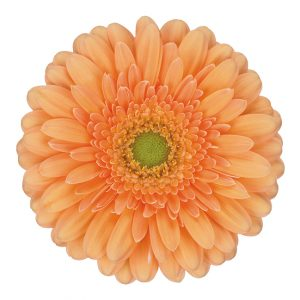 Gerbera Mini Peach Larissa (Light Center)