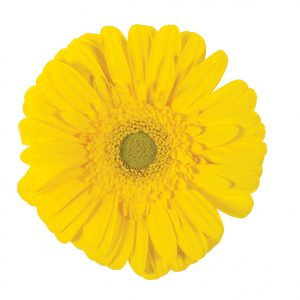 Gerbera Yellow Limoncello (Light Center)