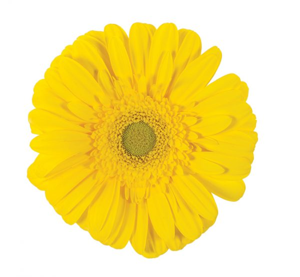 Gerbera Yellow Limoncello (Light Center)