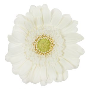 Gerbera Mini White Lobby (Light Center)