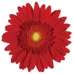 Gerbera Mini Red Loveland (Light Center)