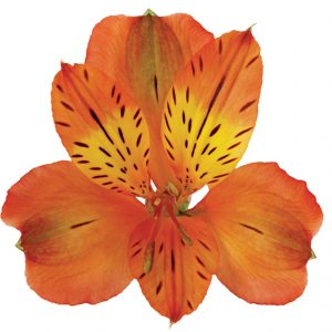 Alstroemeria Orange Lucca