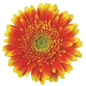 Gerbera Mini Orange/Yellow Mamamia (Light Center)