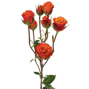 Roses Spray Orange Mambo